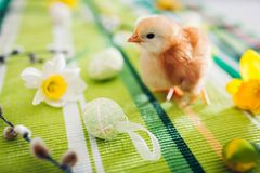 Easter chicken. Little orange chick walking among flowers and Easter eggs royalty free stock image