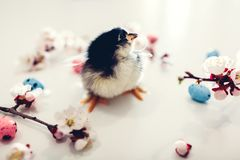 Easter chicken. Little yellow chick walking among apricot blooming flowers and Easter eggs stock photo