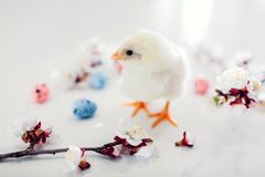 Easter chicken. Little yellow chick walking among apricot blooming flowers and Easter eggs stock images