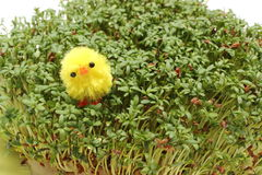 Easter chicken lying on green cuckoo flower Royalty Free Stock Images