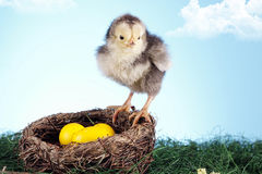 Easter chicken in nest Stock Photos