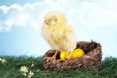 Easter chicken in nest Stock Photography