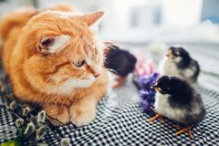 Easter chicken playing with kind cat. Little brave chicks walking by ginger cat among flowers and Easter eggs. Friends stock image