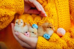 Easter chicken. Woman holding three orange chicks in hand surrounded with Easter eggs. stock photography