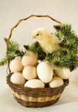 Easter chicken yellow in a wicker basket Stock Photo