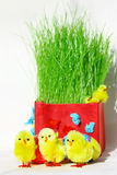 Easter chickens. Colored easter eggs and chickens in green grass with white background Royalty Free Stock Photos