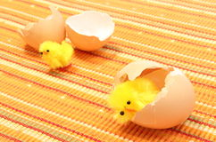 Easter chickens with broken eggshell, chicken or the egg Royalty Free Stock Photo