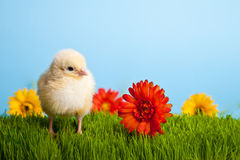 Easter chickens with flowers on green grass Royalty Free Stock Image