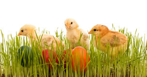 Easter chickens in the grass with colorful eggs Royalty Free Stock Images