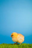 Easter chickens on green grass on blue Royalty Free Stock Photos