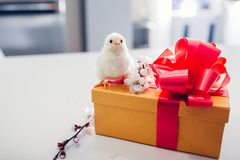Easter chickens. Little chick standing on Easter gift box. Present for spring holiday. On kitchen stock image