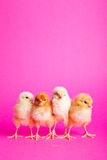 Easter chickens on pink Royalty Free Stock Photo