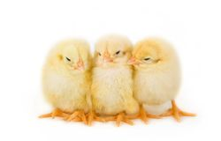 Easter chicks. Sweet Easter chicks isolated on white Royalty Free Stock Photo