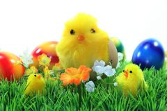 Easter Chicks stock photos