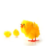 Easter Chicks. Studio image of fluffy yellow chick on white background. Copy space Stock Images