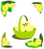 Easter Chicks in a Basket. Two small chickens in a green basket. Yellow flowers as decoration Royalty Free Stock Photo