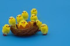 Easter chicks. Fluffy easter chicks on blue background Stock Images