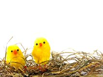Easter chicks in grass Stock Image