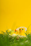 Easter chicks in the grass Royalty Free Stock Image