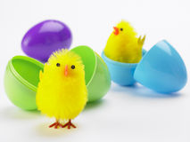 Easter Chicks Hatching Out Of Eggs Stock Image