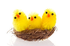 Easter chicks in a nest on white background. Macro shot of three Easter chicks in a nest on white background Stock Image
