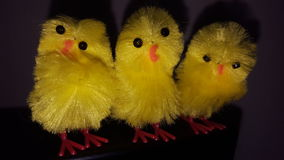 Easter chicks. Yellow easter chickens looking crazy Stock Photos