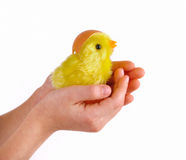 Easter - child holds a chicken in his hands Stock Photos