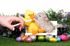 Easter Chinchilla rodent. Chinchilla rodent syringe fed with Easter eggs on lawn with flowers Royalty Free Stock Image