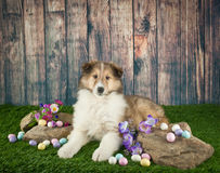 Easter Collie Puppy. Cute little Collie puppy laying in the grass with rocks and spring flowers around her stock image