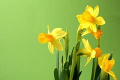 Easter coming soon. Daffodils before green background, with copyspace provided Stock Photo
