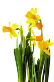 Easter coming soon. Daffodils before a white background Stock Image