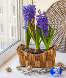 Easter composition on the hyacinths in a basket Stock Image