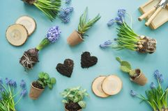 Easter composition. The process of transplanting flowers, top view. Blue background. stock photos