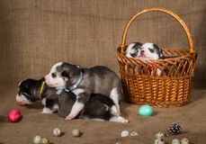 Easter composition with puppies of Siberian Husky. royalty free stock photography