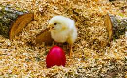 Easter. Concept chicken sitting in the shavings with one red egg Royalty Free Stock Images