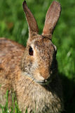 Easter Cottontail Close up Head shot Stock Photo
