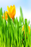 Easter crocus. Easter grass with yellow crocus Royalty Free Stock Photos