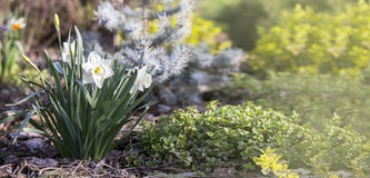Easter daffodil flower banner Stock Images