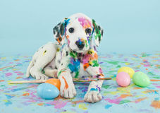 Easter Dalmatian Puppy. A funny little Dalmatian puppy that looks like he just painted some Easter eggs royalty free stock images