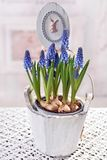 Easter decoration with muscari flowers in wooden pot Stock Photos