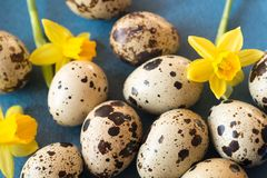 Easter decoration with quail eggs and daffodils stock photos