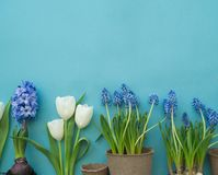 Easter decorative composition on a blue background. White tulips, flower pots, unpainted eggs and a tree. Easter decorative composition on a blue background Royalty Free Stock Image