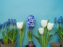 Easter decorative composition on a blue background. White tulips, flower pots, unpainted eggs and a tree. Easter decorative composition on a blue background Stock Photo