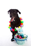 Easter dog. Black Labrador mixed dog with colorful Easter basket Stock Photography