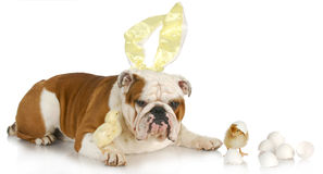 Free Easter Dog Royalty Free Stock Photo - 19321895