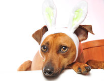 Easter dog. A little do wearing easter bunny ears ready fo the holiday Royalty Free Stock Images