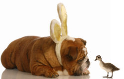Easter dog and baby duck Stock Images