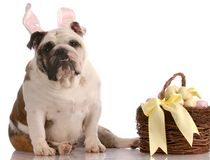 Easter dog with basket Stock Photo