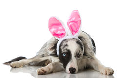 Easter dog Royalty Free Stock Photo