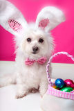 Easter Dog With Bunny Ears And Eggs Royalty Free Stock Image